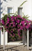 picture of begonias  - Decorative aegean and mediterranian flower Begonia  - JPG