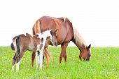Brown Mare And Foal Isolated On White