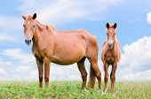 Brown Horse And Foal Looking