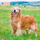 Golden Retriever on the field