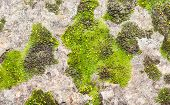 Stone Surface With Green Moss Background.