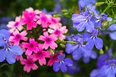 Pink Phlox And Violet Flowers