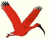 picture of scarlet ibis  - The Scarlet ibis is a wading bird that uses its long bill to catch fish insects and crustaceans - JPG