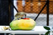 Streak-eared Bubul Bird Waiting To Eat Fruit
