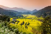 stock photo of rape  - Rape flowers and Chinese ancient buildings in Wuyuan - JPG