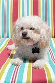 A Bichon Frise smiles as she relaxes a couch. This is a Foster dog that was abandoned at age 10, but