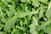 pic of rocket salad  - Wild Rocket salad leaves in a heap background - JPG