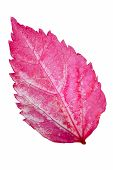 Pink Leaf Of The Hibiscus Isolated On White