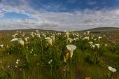 stock photo of arum lily  - Field with arum lilies in Darling Soth Africa - JPG
