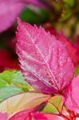 Pink Leaf Of The Hibiscus
