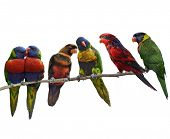 stock photo of lorikeets  - Colorful Parrots - JPG