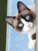 cat breed snowshoe looking at camera