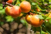 Ripe Apricots On The Tree