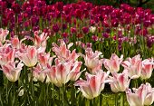 Crimson And Pink Tulips