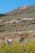 Mykonos Landscape With Goats