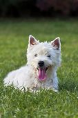 stock photo of west highland white terrier  - Cute West Highland White Terrier puppy looking in the grass - JPG