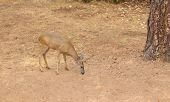 Black-tailed deer  in Northern California