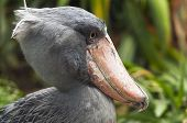 Shoebill, Side Face.