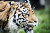 Encounter with Sumatran tiger