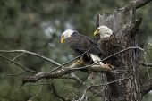 Two Perched Eagles.