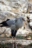 Secartary Bird