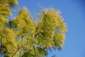 stock photo of pine-needle  - pine plant with green needle shape leaves - JPG