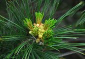 pic of pine-needle  - young conifer needle pine cone growing on tree in spring - JPG