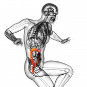 3D Render Medical Illustration Of The Human Larg Intestine