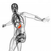 3D Render Medical Illustration Of The Stomach
