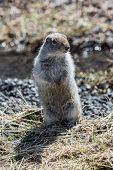Cute Ground Squirrel Standing On Hind Legs