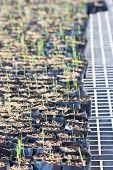 Asparagus Seedling.