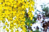 Golden Shower (cassia Fistula)