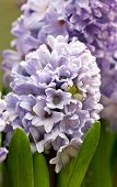 Close Up Of Hyacinth Flowers.