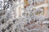 Tree Branches Covered With Hoarfrost Fluffy