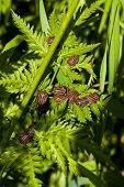 Постер, плакат: Щитник линейчатый Bugs на зеленый лист