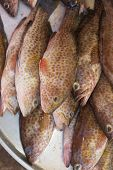 pic of grouper  - Fresh raw spotted sea grouper vertical photo background - JPG