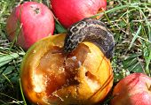 Big Snail Eats The Apple In The Meadow
