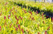 image of bromeliad  - Red aechmea apocalyptica gamesopela bromeliad flowers in garden - JPG