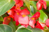 image of begonias  - Numerous bright red flowers of tuberous begonias  - JPG