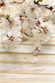 Spring blossom (oriental cherry, apple tree) on wooden table