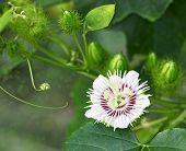 Stinking Passiflora