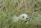 Atlantic Grey Seal Pup