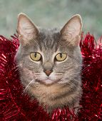 Blue tabby cat with red tinsel