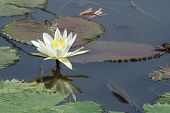 white lotus with reflection