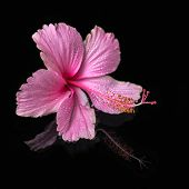 Spa Still Life Of Pink Hibiscus Flower With Drops In Deep Water, Closeup
