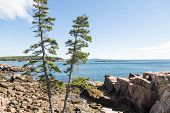 Pine Trees And Rocks On Maine Coast