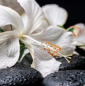 Spa Concept Of Blooming Delicate White Hibiscus With Drops On Zen Basalt Stones, Closeup