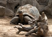 picture of turtle shell  - Old big turtle with huge shell is looking forward  - JPG