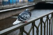 Pigeons Of Karlovy Vary