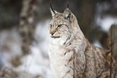 Lynx sitting in the winter forest